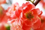 Фото 35 Айва японская (75 фото): уход, выращивание и размножение