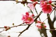 Фото 36 Айва японская (75 фото): уход, выращивание и размножение