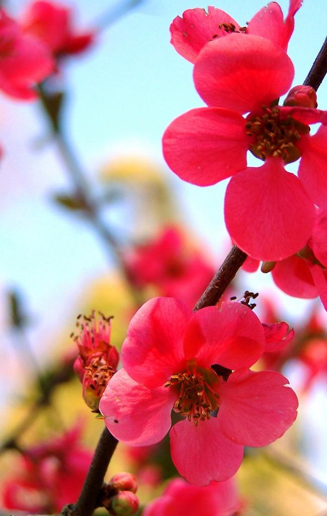 От весеннего цвета айвы просто захватывает дух