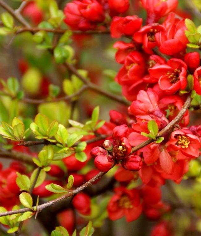 Роскошь красных цветов, контрастируемая с зеленью, насыщает сад непередаваемыми яркими красками