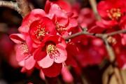 Фото 4 Айва японская (75 фото): уход, выращивание и размножение