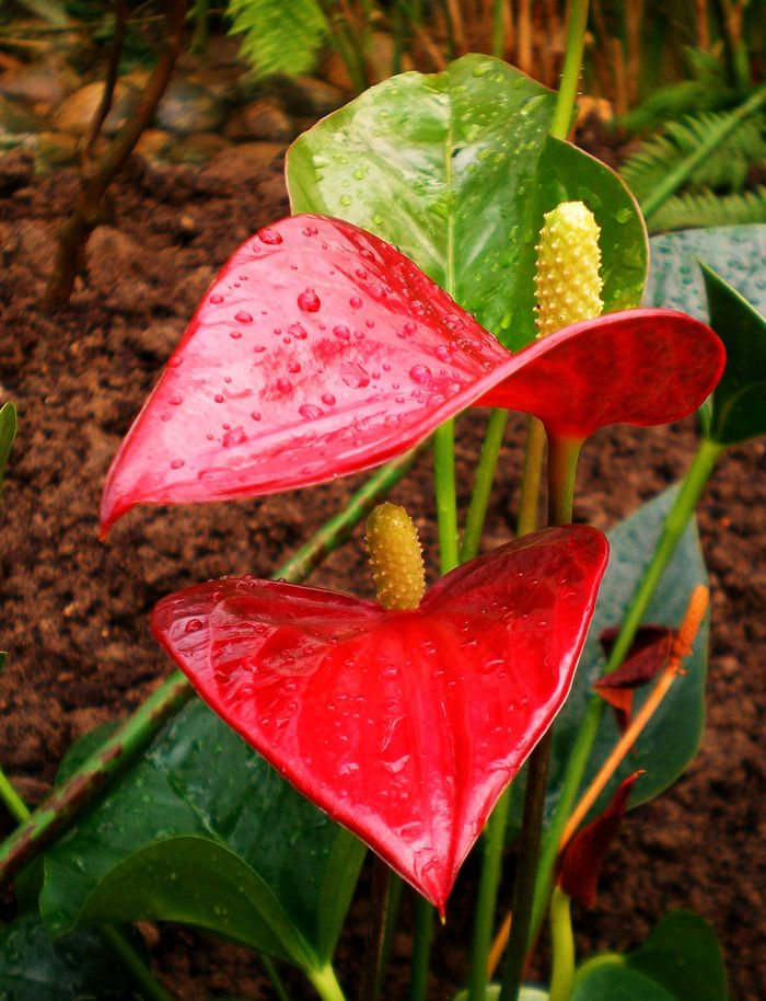 Тепло и влажно – вот основные составляющие нормального развития антуриума