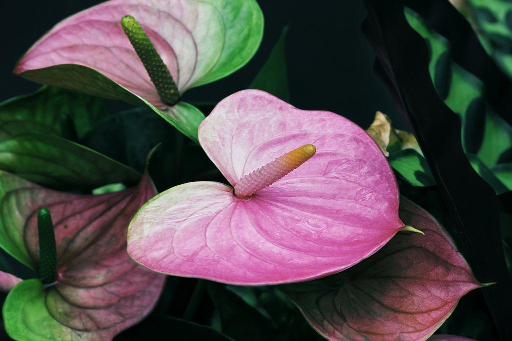 Нежно-розовый антурим с зеленым окаймлением на цветках