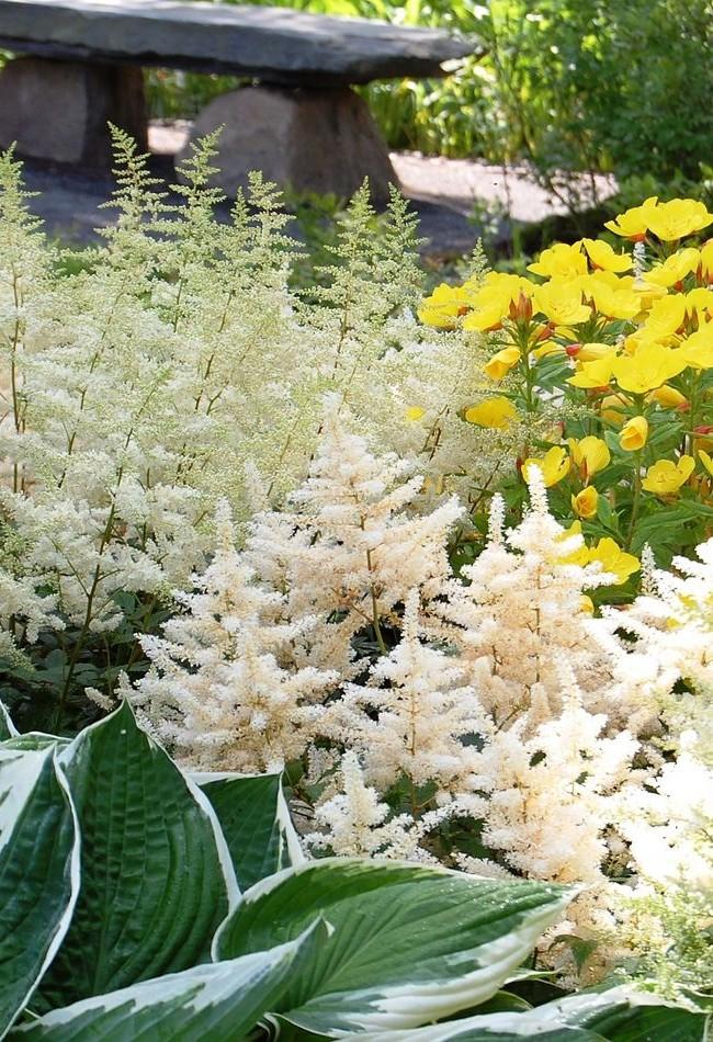 Шикарная белая астильба будет прекрасно смотреться с яркими цветами