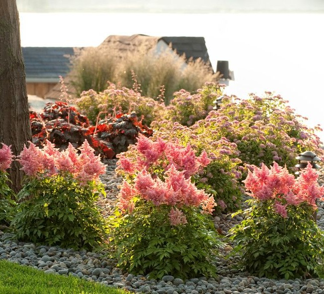 Astil`Нежная розовая астильба придают ноту романтизма и изысканности саду