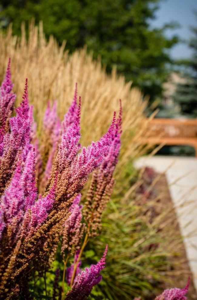 Астильбо ярко контрастирует с более скромными, блеклыми растениями сада, придавая ему изюминку