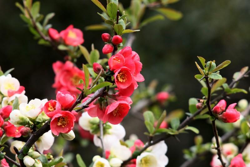 Айва японская, известная также как хеномелес прекрасный или красивый, - популярный сорт айвы японской, родина которого в странах Юго-Восточной Азии – Китае и Бирме