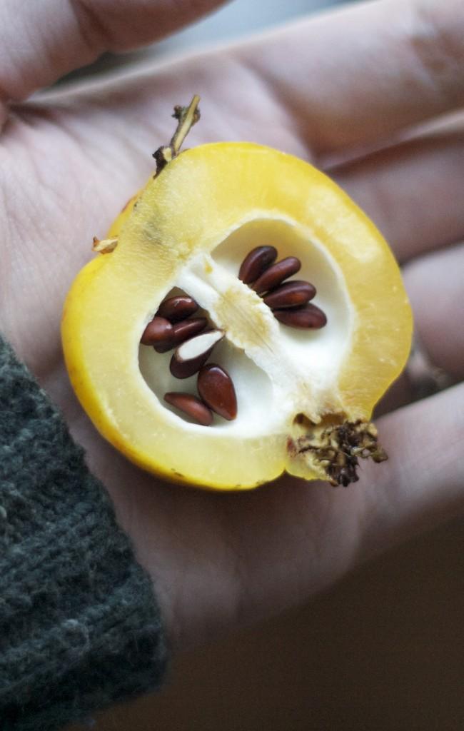 Внутри ярко-желтого плода айвы прячутся семена - один из способов размножения растения