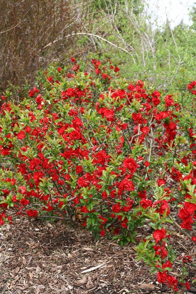 Сначала айву Маулея сажали просто как красивый кустарник, позже стали ценить и его плоды