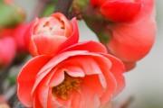 Фото 10 Айва японская (75 фото): уход, выращивание и размножение