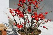 Фото 24 Айва японская (75 фото): уход, выращивание и размножение