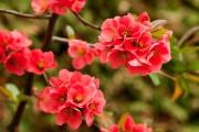 Фото 6 Айва японская (75 фото): уход, выращивание и размножение