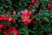 Фото 16 Айва японская (75 фото): уход, выращивание и размножение