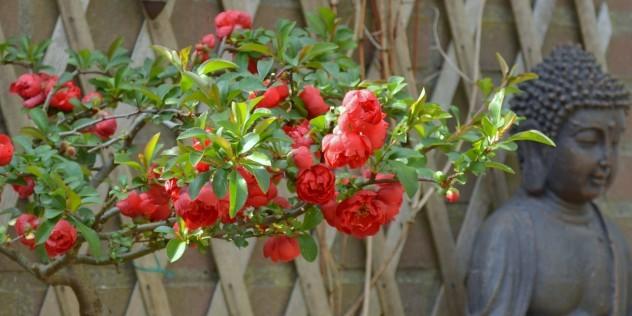 Яркие объемные цветы айвы японской - удивительной, неповторимой красоты