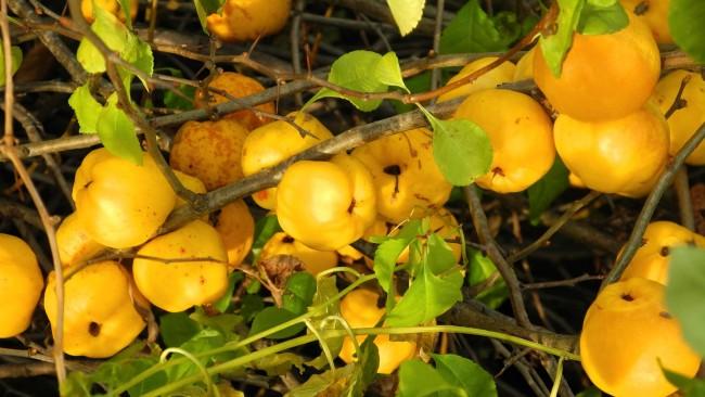 Ароматные целебные плоды лимонно-жёлтой окраски созревают в сентябре