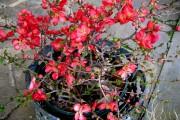 Фото 26 Айва японская (75 фото): уход, выращивание и размножение