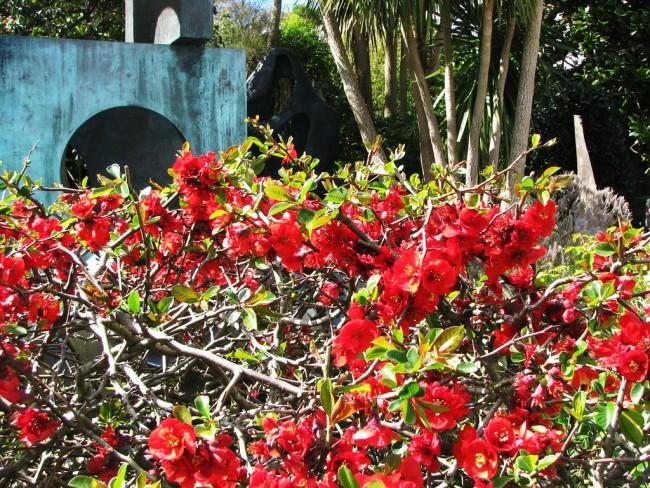 Айва японская широко применяется в озеленении при создании живых изгородей, бордюров и каменистых садиков