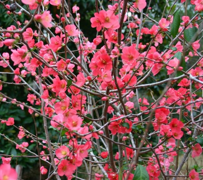 """Айва японская не только невероятно красивый кустарник, но и благодаря колючкам может служить """"охранником"""" вашего участка"""