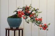 Фото 13 Айва японская (75 фото): уход, выращивание и размножение