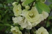 Фото 14 Айва японская (75 фото): уход, выращивание и размножение