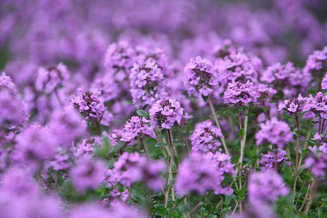 Благодаря яркости своих цветов тимьян получил широкое распространение у садоводов