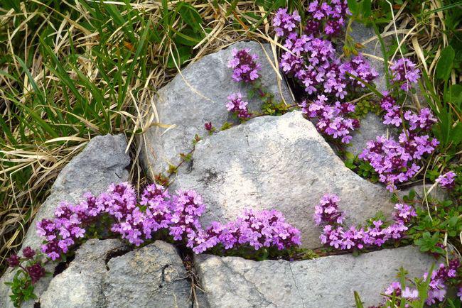 Тимьян красиво смотрится в каменных садах