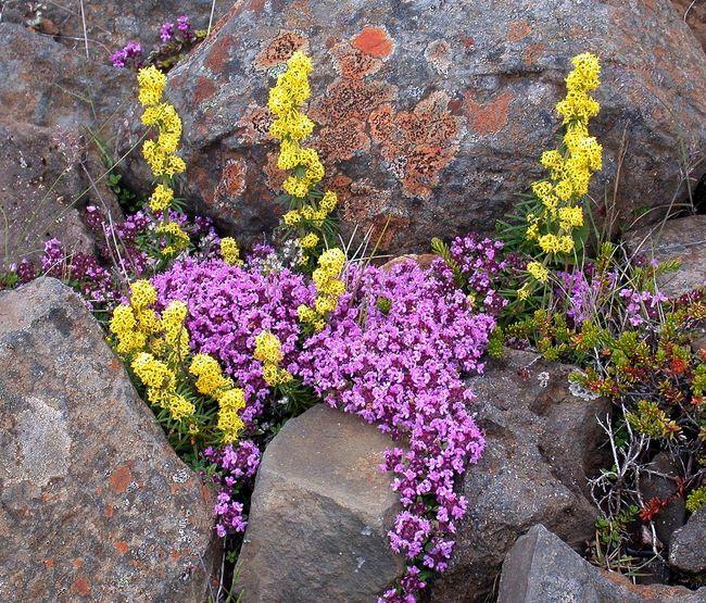 Тимьян часто высаживают на альпийских горках