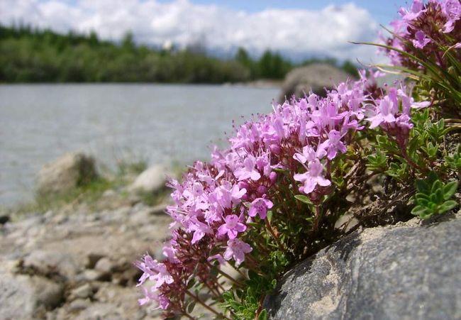 Тимьян - красивое пряно-ароматическое растение