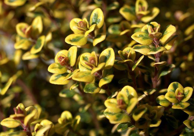 Тимьян лимонный имеет пряный аромат с насыщенной ноткой лимонного запаха