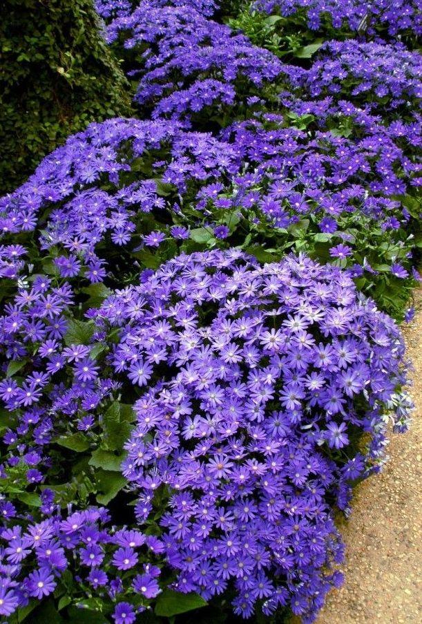 Прекрасный газон из фиолетовой цинерарии