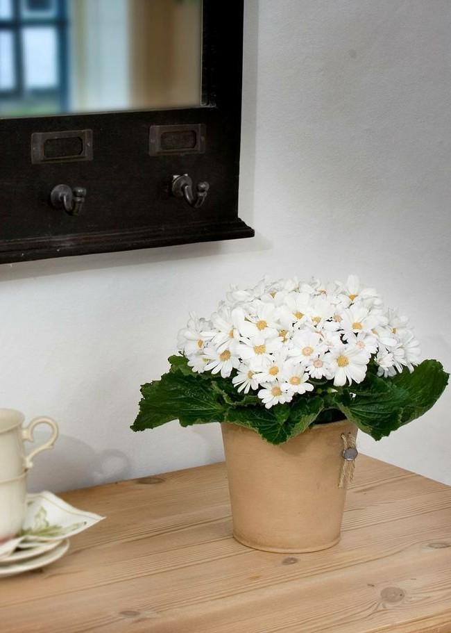 Комнатная цинерария замечательно впишется в интерьер вашего дома