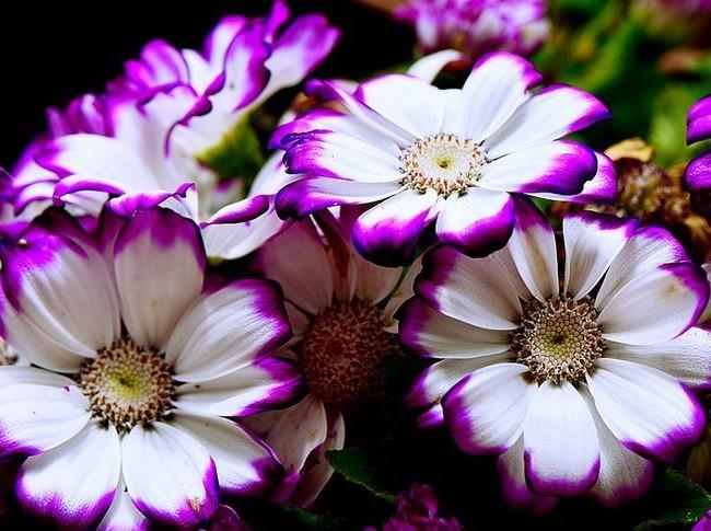 Белые цветки цинерарии с контрастными кончиками выглядят потрясающе