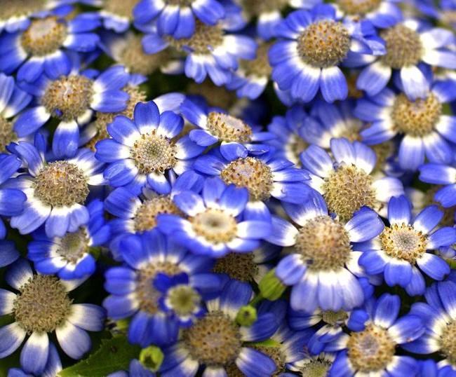 Милые цветки цинерарии приятного синего окраса