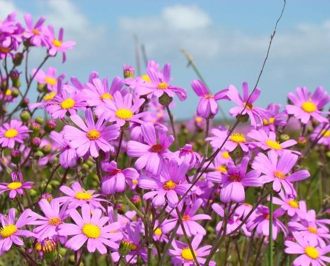 Цинерария изящная - очень неприхотливое и красивое растение