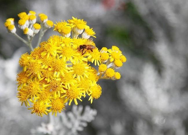 Яркие цветы очень эффектно смотрятся на серебристом фоне листьев