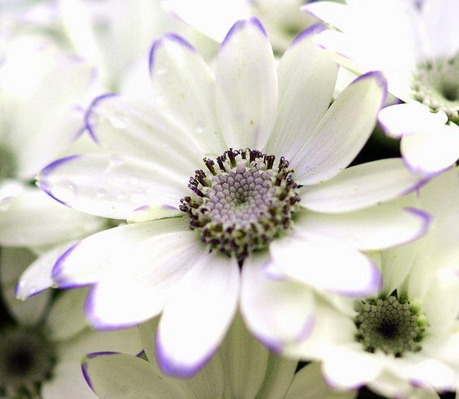 Цинерария белого цвета смотрится весьма благородно