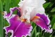 Фото 4 Цветы ирисы (89 фото): виды и их особенности, посадка и уход