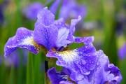 Фото 7 Цветы ирисы (89 фото): виды и их особенности, посадка и уход