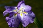 Фото 11 Цветы ирисы (89 фото): виды и их особенности, посадка и уход