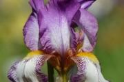 Фото 14 Цветы ирисы (89 фото): виды и их особенности, посадка и уход