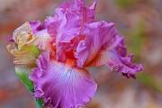 Фото 15 Цветы ирисы (89 фото): виды и их особенности, посадка и уход