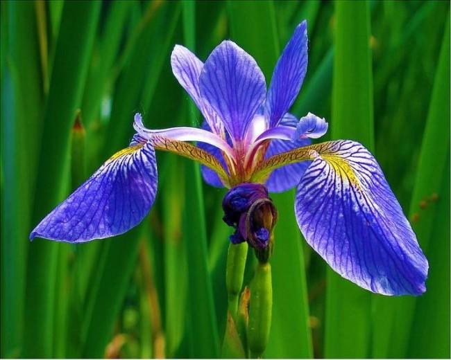Ирис с цветком ярко-голубого цвета с красно-желтым основанием