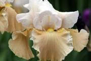 Фото 18 Цветы ирисы (89 фото): виды и их особенности, посадка и уход