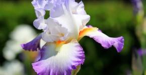 Цветы ирисы (89 фото): виды и их особенности, посадка и уход фото