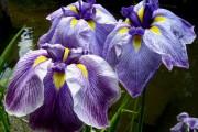 Фото 17 Цветы ирисы (89 фото): виды и их особенности, посадка и уход