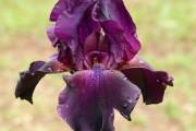 Фото 19 Цветы ирисы (89 фото): виды и их особенности, посадка и уход