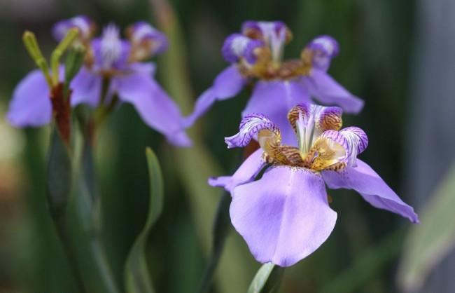 Цветы ирисы с лепестками нежно-фиолетового и тигрового цвета