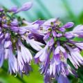 Цветок хоста (57 фото): красота и аромат в вашем саду фото