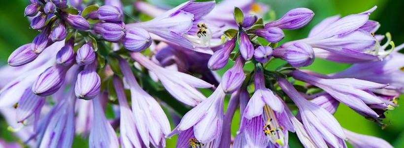 Цветок хоста (57 фото): красота и аромат в вашем саду