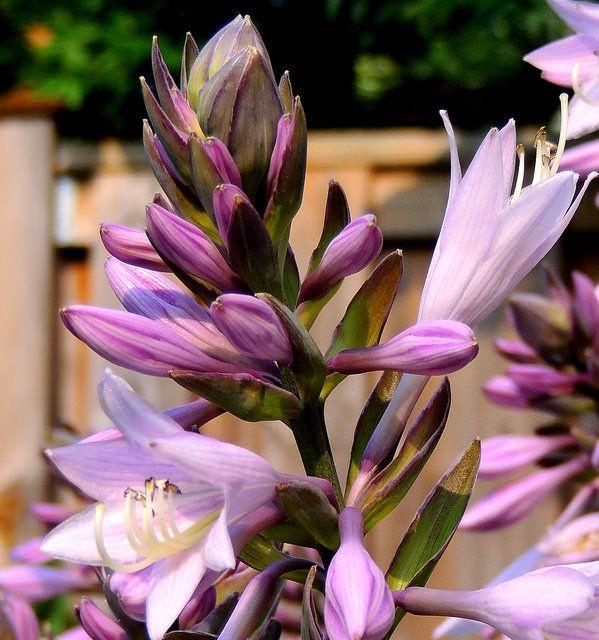 Хоста отличается невероятно красивыми и ароматными цветами